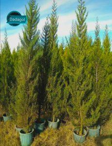 درخت سرو زربین