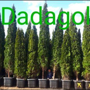 درخت کاج تویا آمریکایی